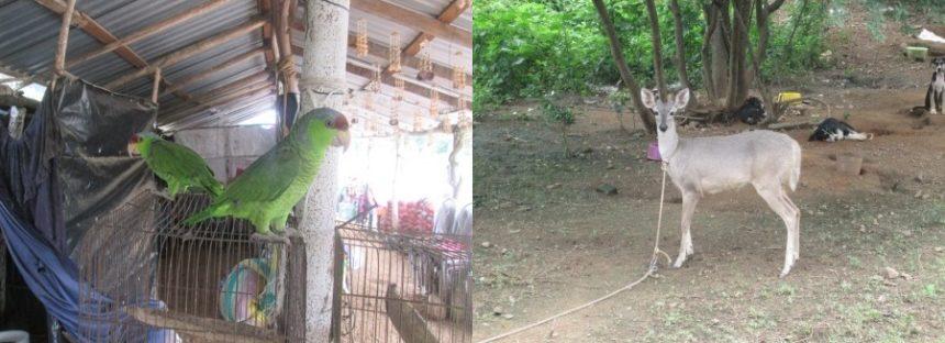 Recuperan cotorros y venado cola blanca silvestres en Guerrero