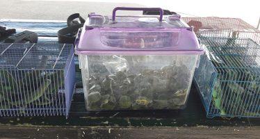 Aseguran 98 tortugas y 60 iguanas en Aguascalientes, transportadas ilegalmente