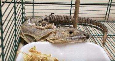 Rescatan en Chihuahua 9 reptiles y anfibios transportados ilegalmente en servicios de mensajería