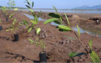 Van por recuperación de manglares en Nayarit