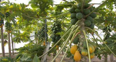 Mercado francés, interesado en la papaya de Michoacán: Sedrua