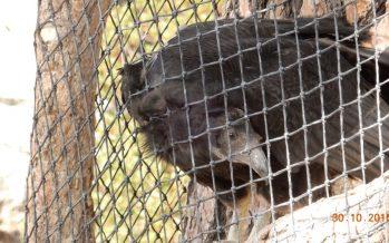 Crías de cóndor de California (Gymnogyps californianus) se adaptan al Parque Nacional Sierra de San Pedro Mártir en BC