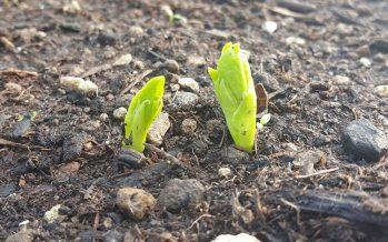 Las legumbres favorecen la salud del suelo y promueven dietas sanas y nutritivas