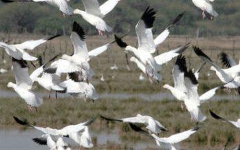 Miles de muertes de gansos mueren por envenenamiento de mina