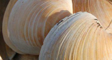 Reconstruirán la historia climática del Atlántico Norte gracias a almeja que vive 500 años