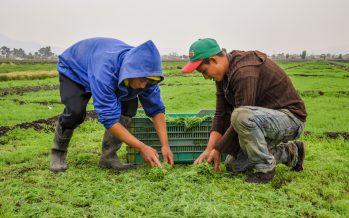 Romeritos para temporada navideña y fin de año están siendo preparados por productores