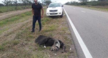 Oso hormiguero muere atropellado en una ruta