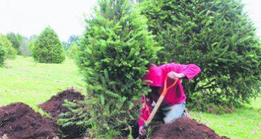 Renta de arbolitos navideños para cuidar el medio ambiente
