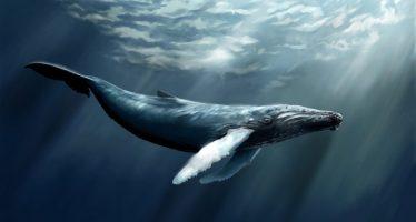Evitan que ballenas azules choquen contra los barcos gracias a un rastreador