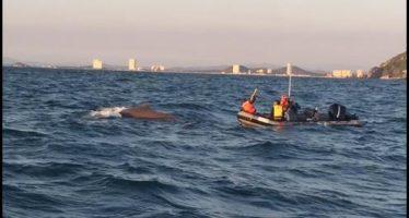 Salvan ballena jorobada atorada en una cuerda en Mazatlán
