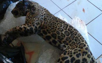 Realizan investigación sobre muerte de un Jaguar en Tlajomulco, Jalisco