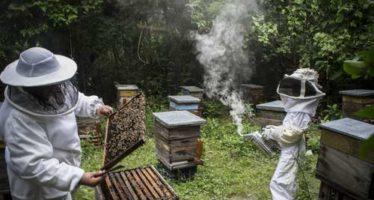 En declive, la apicultura en el Istmo, por pesticidas y cambio climático
