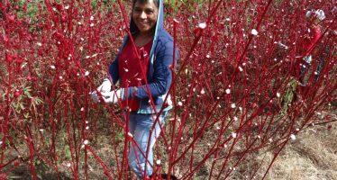 Michoacán obtiene tercer lugar nacional en producción de jamaica y segundo en producción de chayote