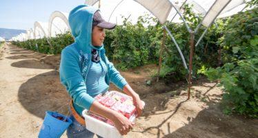 Producción de frambuesa es duplicada en un año en México