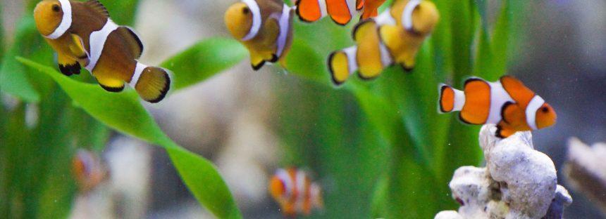 Acuacultura ornamental genera 120 millones de pesos a productores anualmente