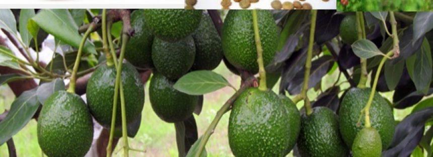 Michoacán es el número uno en la producción de veinte productos agrícolas en el país
