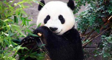 """El """"abuelo"""" de los pandas llamado Pan Pan, muere en últimos días del 2016"""