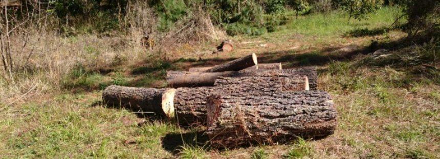 Siete personas son procesadas por la tala ilegal de árboles en Pátzcuaro