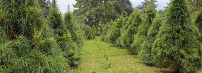 160 centros de acopio de árboles naturales de Navidad se implementarán en México para reciclarlos y crear compostas