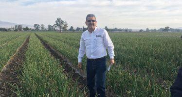 Más de 150 mil toneladas de cebolla son producidas en Michoacán anualmente