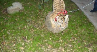 Tigre de Bengala es paseado como una mascota común en Tijuana, Baja California, gobierno interviene