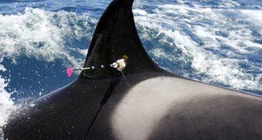 La orca más vieja del mundo muere a sus 116 años de edad
