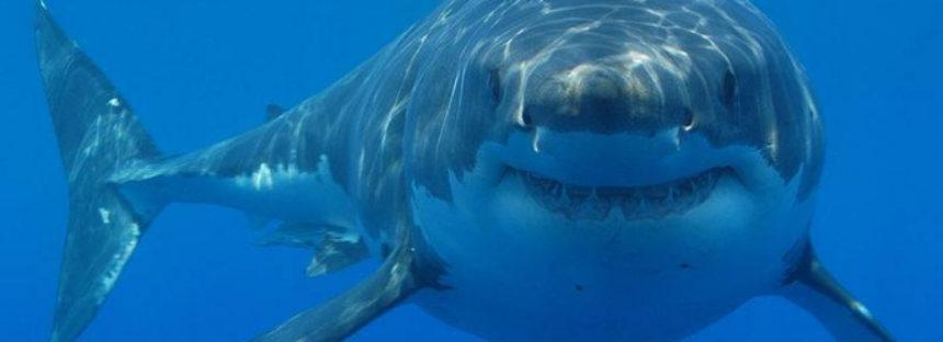 Identifica equipo binacional científico un nuevo sitio de crianza de tiburón blanco (Carcharodon carcharias) Baja California