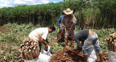 """El único municipio de Michoacán que produce """"Yuca"""" y segundo productor nacional: Jungapeo"""