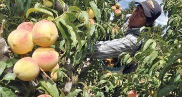 Obtiene Michoacán el segundo lugar nacional en producción de durazno