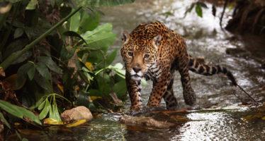 Crítica situación del jaguar en México; hay menos de 4 mil ejemplares silvestres y su riesgo de extinción es más grave de lo pensado