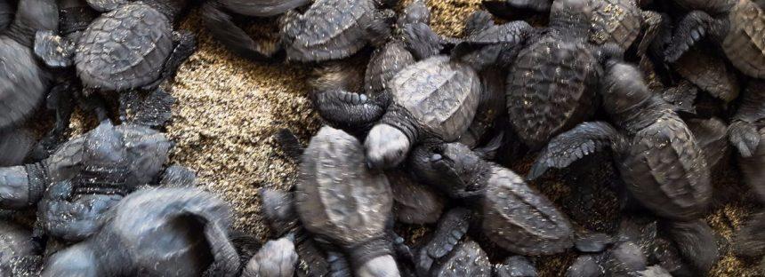 Liberadas al Pacífico michoacano, 398 mil crías de tortuga marina