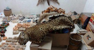 Aseguran 5 pieles de jaguar y una de ocelote en comercio de Valladolid, Yucatán