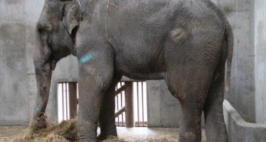 """La muerte del elefante """"Benny"""" fue causada por una insuficiencia renal crónica"""