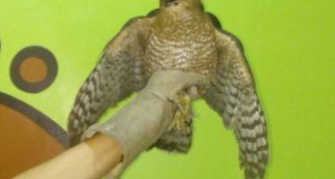 En Coahuila, rescatan un halcón de Cooper (Accipiter cooperii) y un venado cola blanca (Odocoileus virginianus)