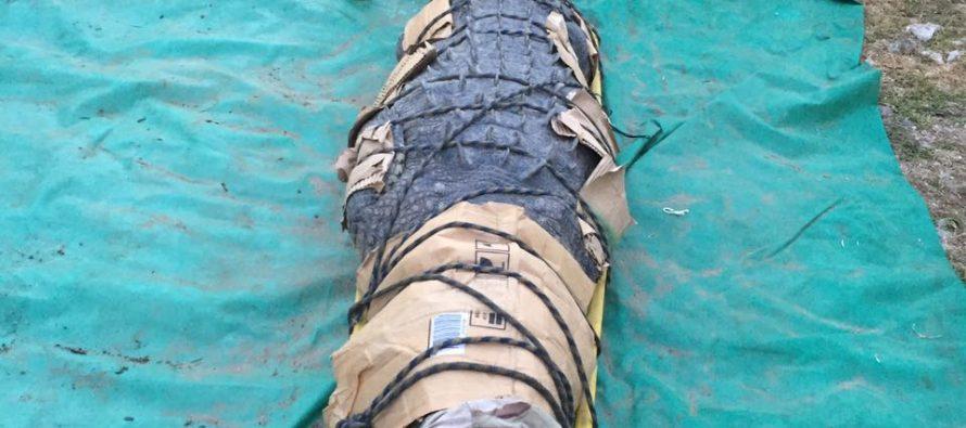 Capturan cocodrilo que mató a una persona en la Reserva de la Biosfera la Encrucijada, Chiapas.