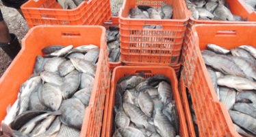 Garantizado abasto de productos para Cuaresma al crecer producción de mojarra 15.6 por ciento