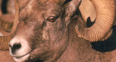 Sigue adelante monitoreo satelital del borrego cimarrón (Ovis canadensis)