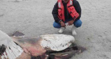"""Aparece muerto el ballenato albino """"costalito de sal"""" en una playa de la Laguna Ojo de Liebre en BCS"""
