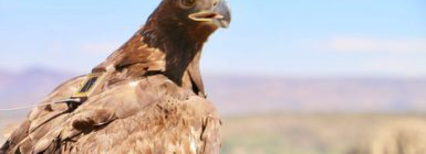 Liberan en Aguascalientes, primera águila real (Aquila chrysaetos) con transmisor satelital