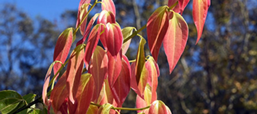 Canela (Cinnamomum verum)