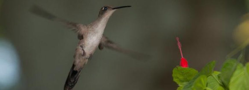 El colibrí aprende el dialecto de la región para ser aceptado y aparearse