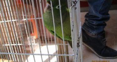 Aseguran en Hidalgo loro cachetes amarillos  (Amazona autumnalis) y un perico pecho sucio (Aratinga nana)