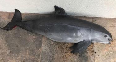 Emprenden ONG´s boicot a camarón mexicano por muerte de vaquitas