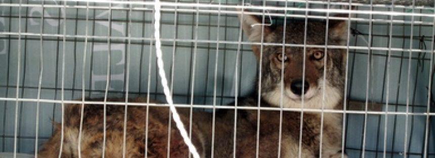 Rescatan un coyote (Canis latrans) en la Sierra Norte de Puebla
