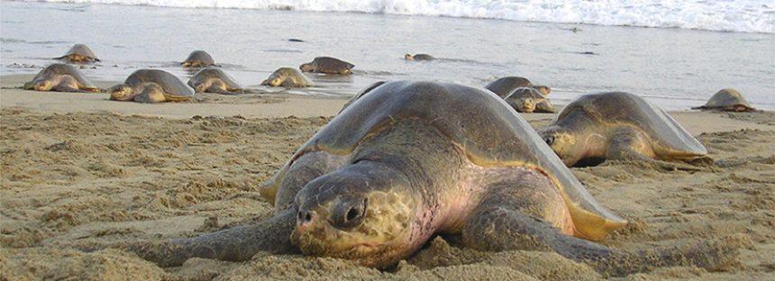 Llegan a playa Morro Ayuta 873 mil 746 ejemplares de tortuga golfina (Lepidochelys olivacea) esta temporada