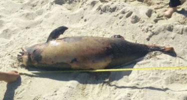 Frente al fracaso en la conservación y por emergencia, la SEMARNAT invertirá 3 mdd para salvar la vaquita marina (Phocoena sinus)