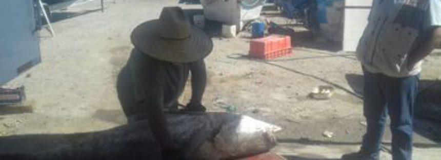 Detienen en BC a 4 pescadores de la Jade, con siete ejemplares de totoaba (Totoaba macdonaldi)