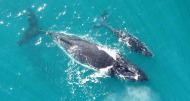 Los bebés ballena susurran para evitar la muerte