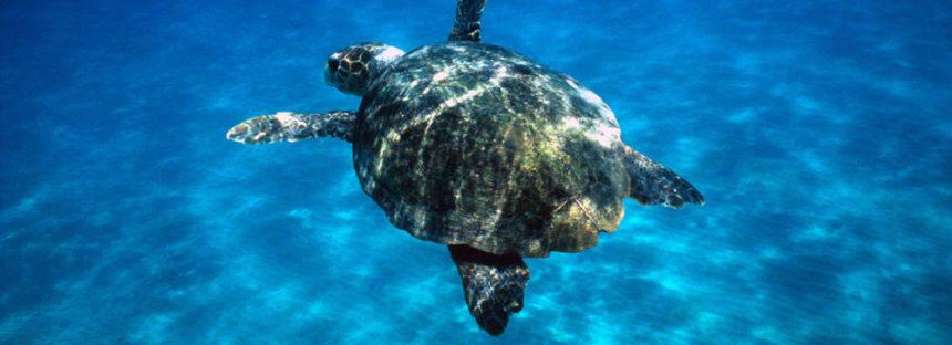 Las amenazas que enfrentan las tortugas marinas