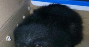 Rescatan en Chetumal, QR, un mono aullador y aves silvestres